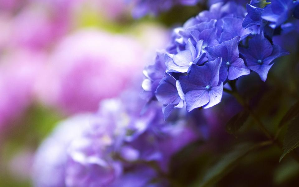 flowers nature blossoms leaves bed field clusters pink blue purple petals macro still bokeh