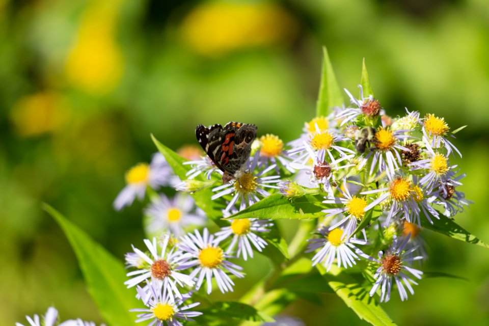 butterfly insect garden summer detail bug wings bokeh nature colorful wild outdoor flowers