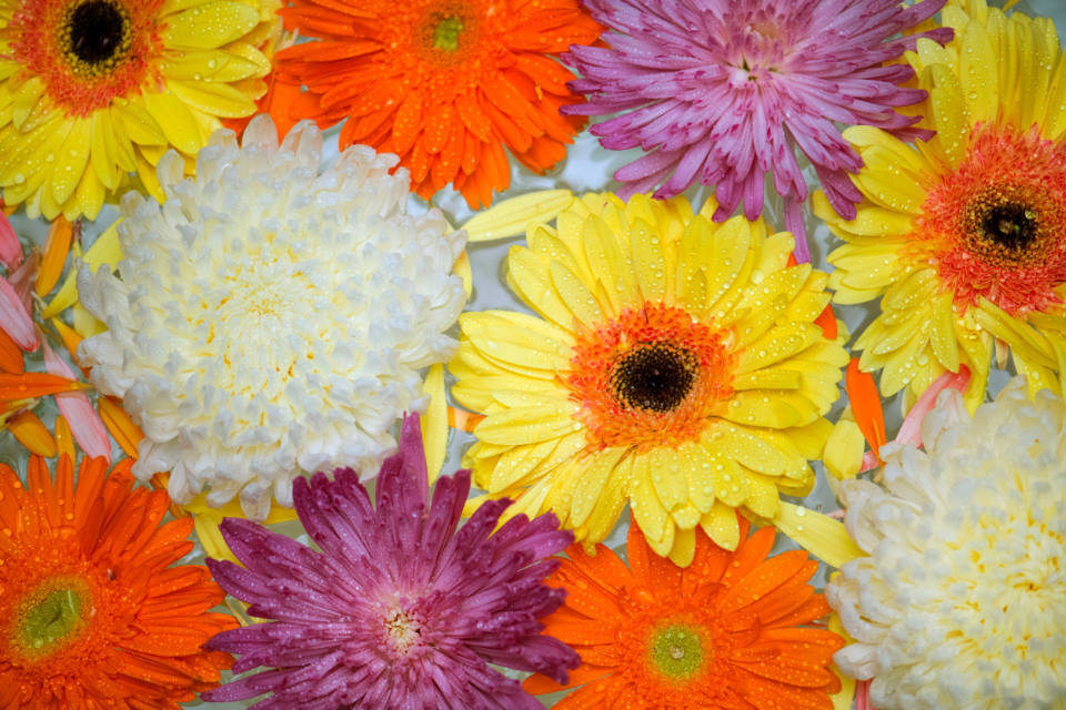 african daisy attractive background beautiful bloom blossom botanical botany chrysanthemum closeup collection color colorful daisy decoration drop floating flora floral flower fresh gerbera gerbera daisy isolated macro natura