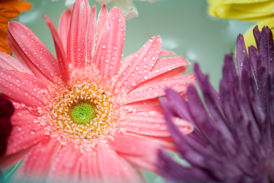 african daisy attractive background beautiful beauty bloom blossom botanical botany closeup collection colorful daisy decoration drop elegance floating flora floral flower flowery fresh gerbera gerbera daisy isolated macro