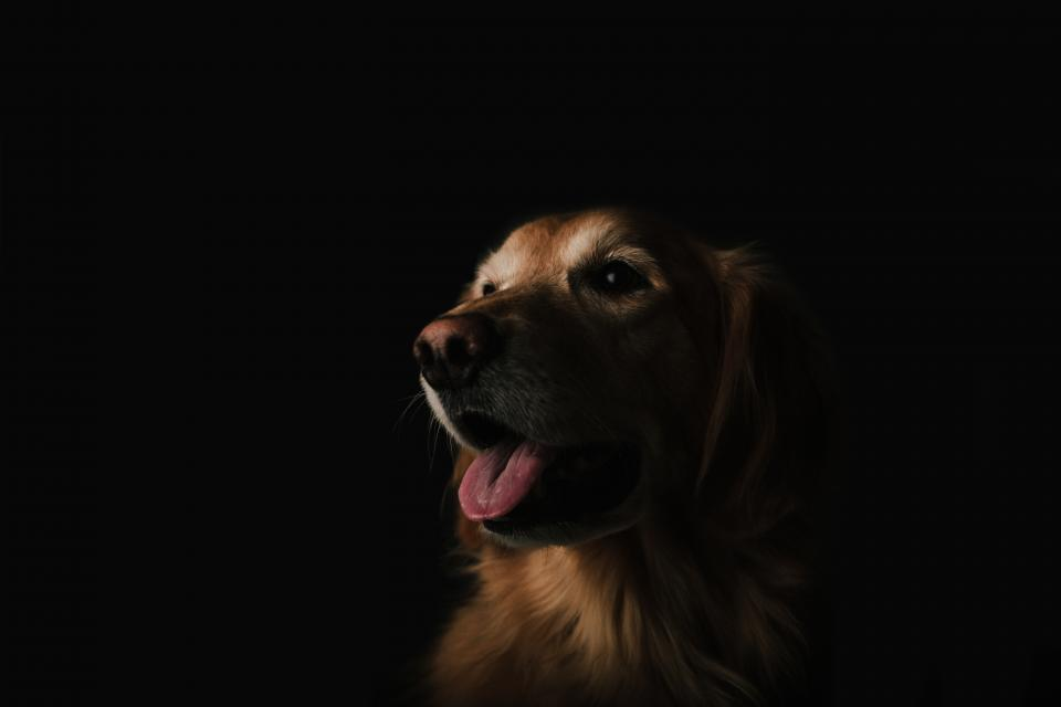 dog animal golden retriever happy dark mammal