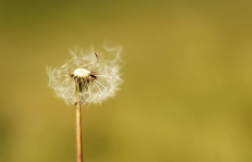 flowers nature blossoms white stems petals leaves macro bokeh outdoors dandelions wish blow green