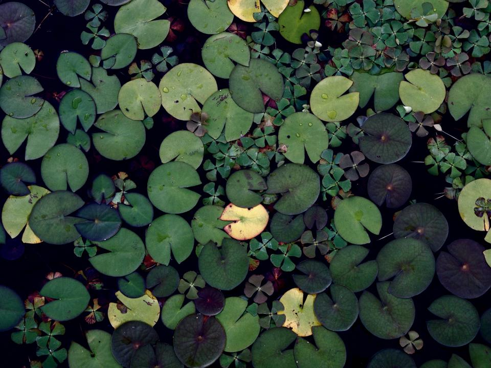 lily pads green water pond nature