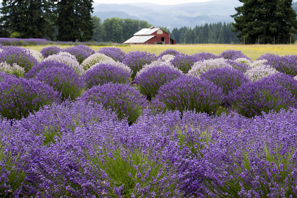 landscape nature outdoors trees lavender field barn country flower herbal purple plant grass blooming scenic