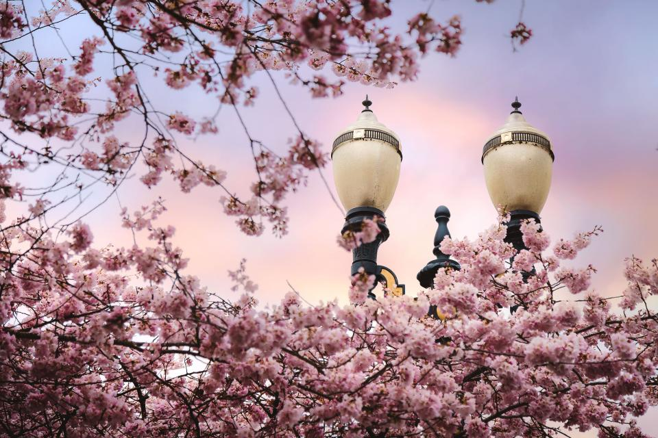 pink blossom trees plant nature flowers streetlamp travel