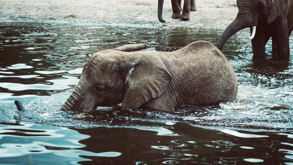 elephants mammal animal water lake nature wildlife