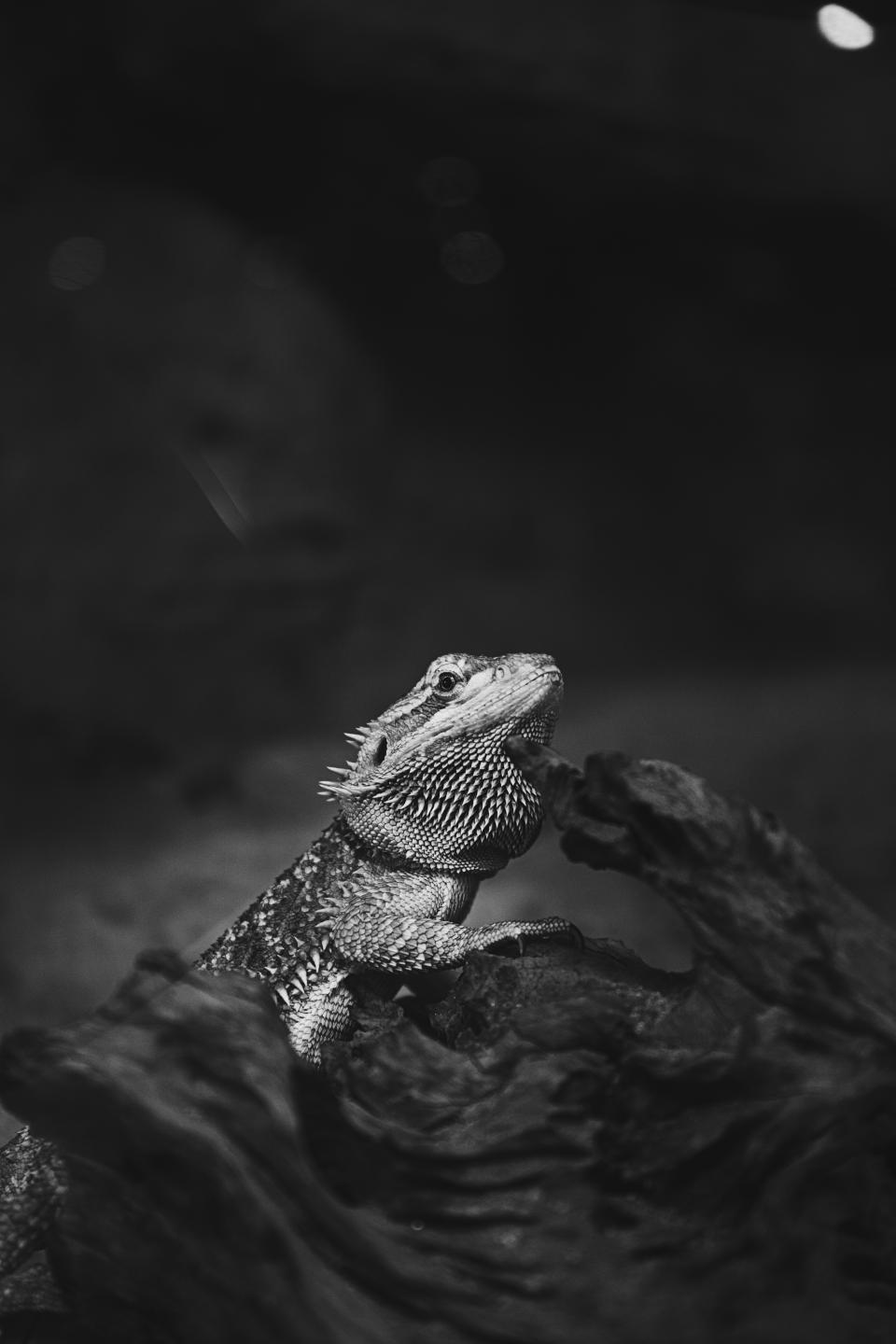 animals pet lizard iguana black and white trunk tree bokeh blur