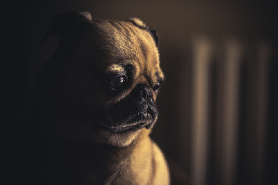 dog pug sleepy sad adorable animal indoors domestic pet puppy