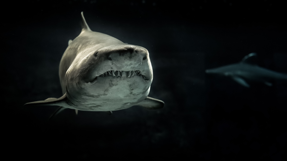 shark sea ocean fish animals black & white black background marine teeth predator swimming underwater water wildlife