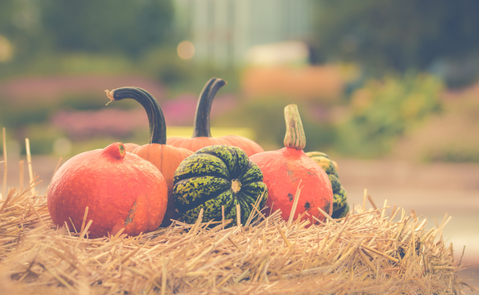 farm land halloween halloween pumpkin orange orange color pumpkin season seasonal autumn food vegetable