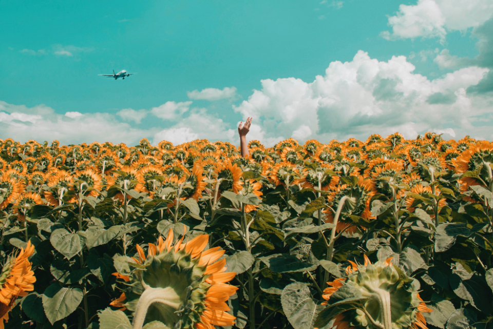 hand sunflower field summer blue sky clouds flower nature farm airplane transport plane