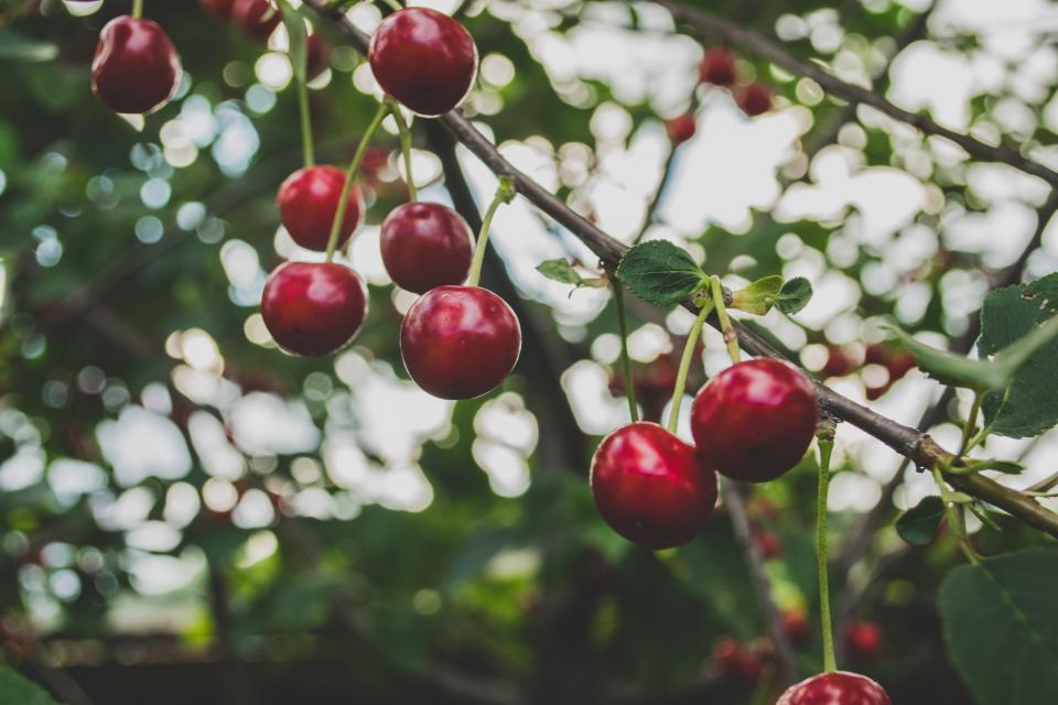 cherries fruits trees branches nature food healthy