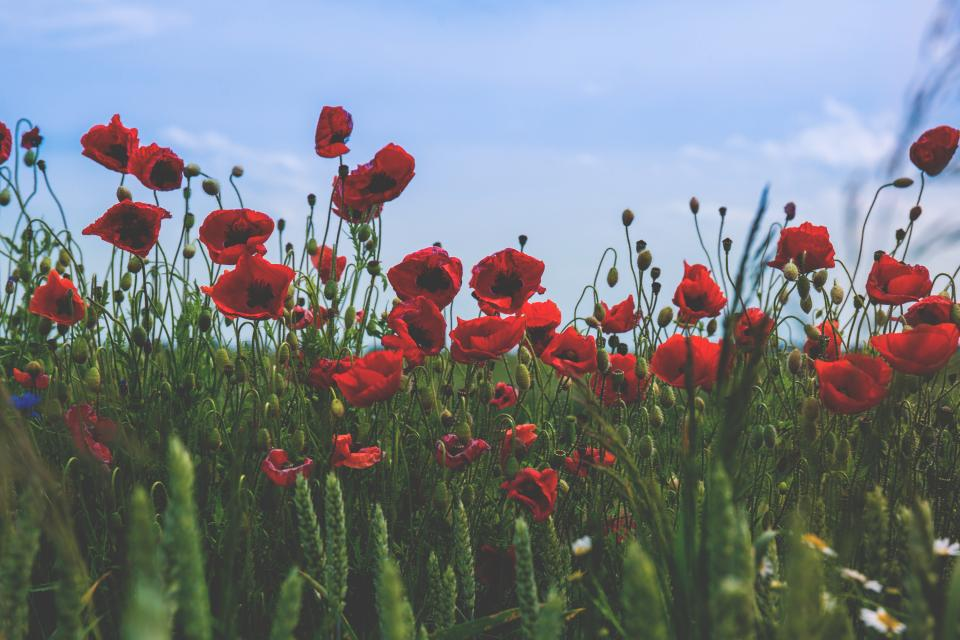 flowers nature blossoms branches bed field stems stalk petals grass red bokeh outdoors garden sky clouds