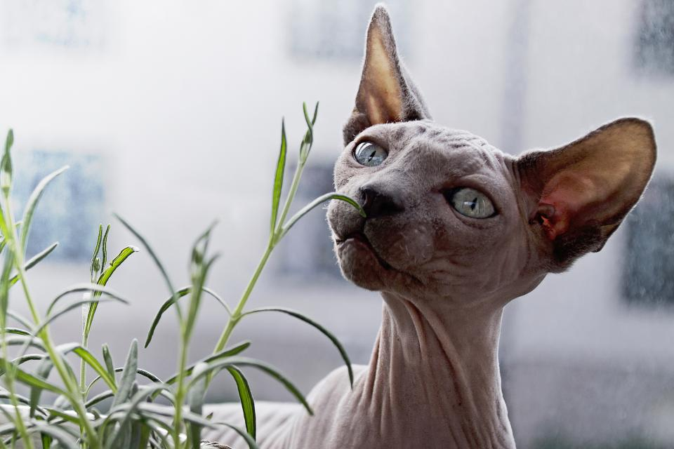 nature plants green animals pet cat sphynx