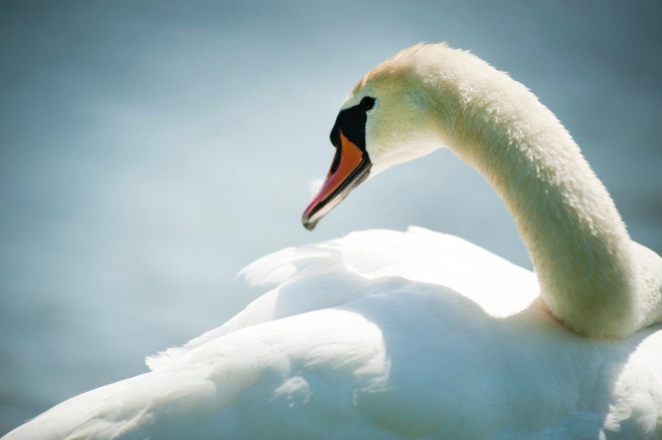 white swan swimming close up animal bird pet beak