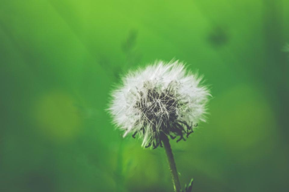 flowers nature blossoms stems stalk white dandelions wish still bokeh