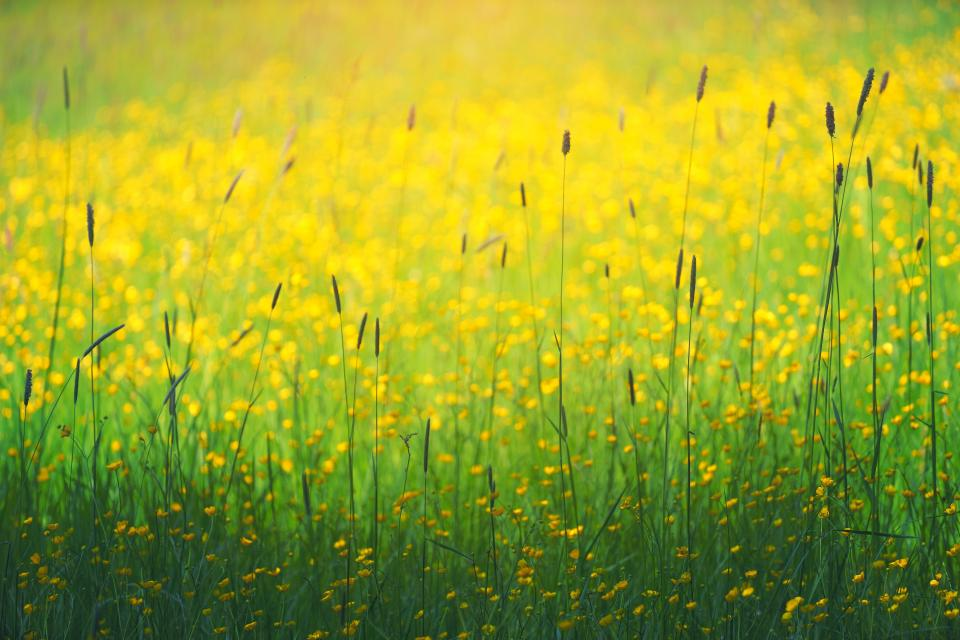 green grass yellow flower plants nature farm field garden