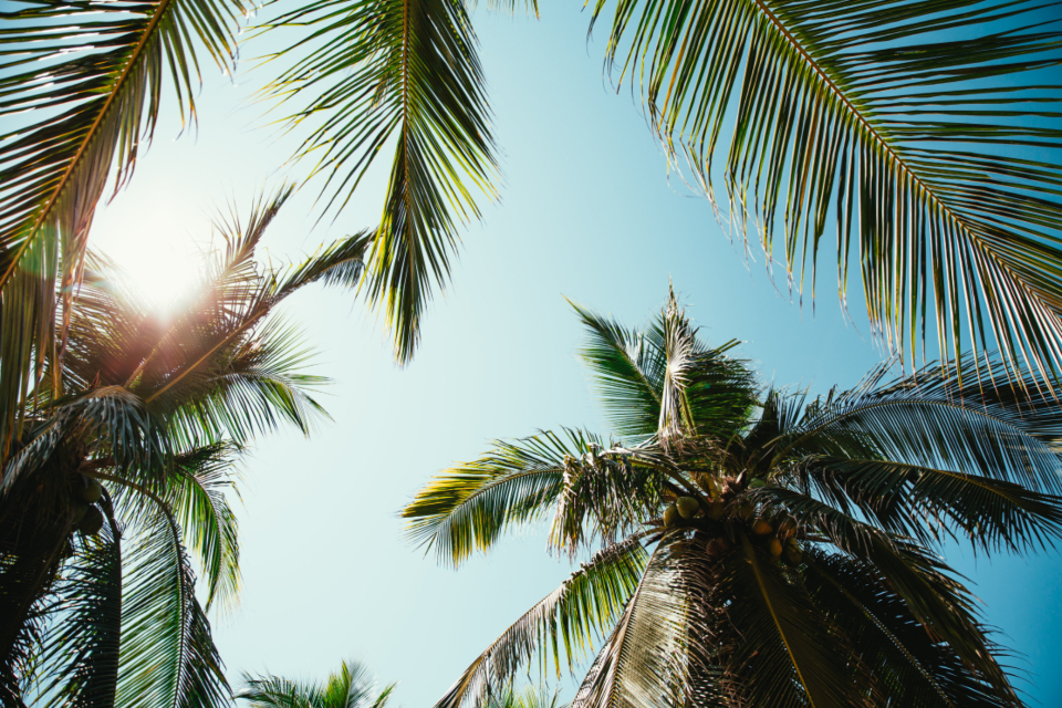palm trees palm leaves sunny sun sunlight vacation relaxing sky nature outside outdoors daytime plants trees tropical summer