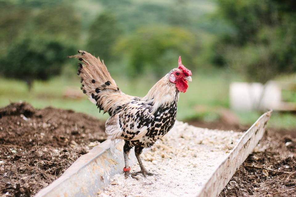 farm field rooster chicken bird animal nature outdoor pet
