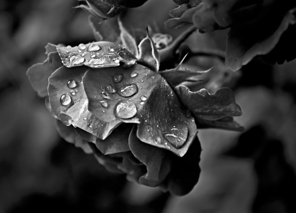 rose flower rain rainy day morning garden wild natural drops droplets