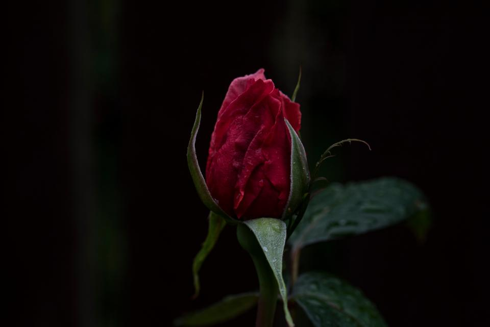 dark red rose flower green leaf plant