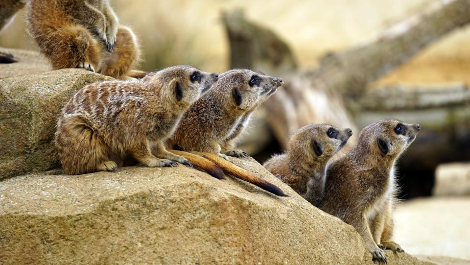 animals mammals meerkat group huddle rocks pen zoo sanctuary