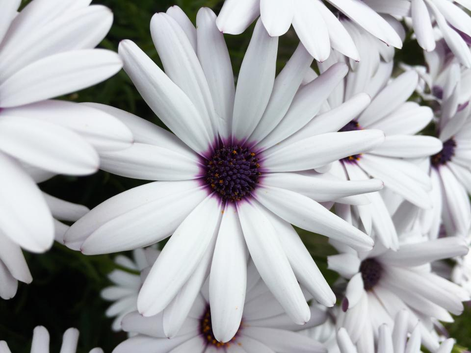 osteospermum daisy flower white purple garden nature