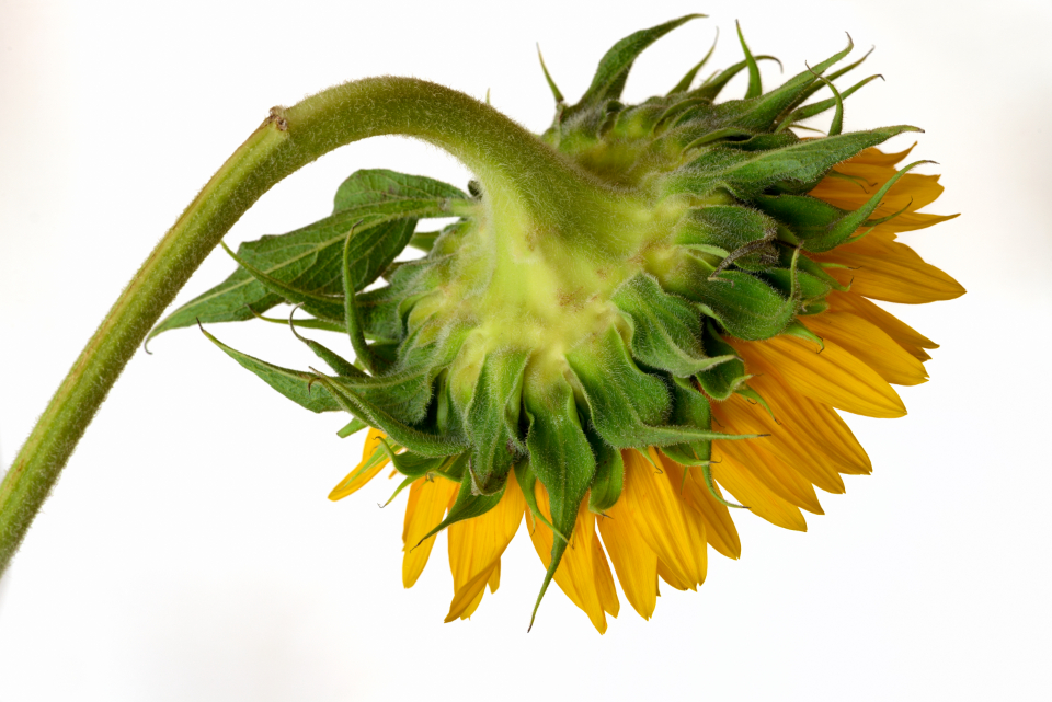 sunflower petals flower yellow botanical color plant fresh nature spring summer sun flora isolated stem close up bloom