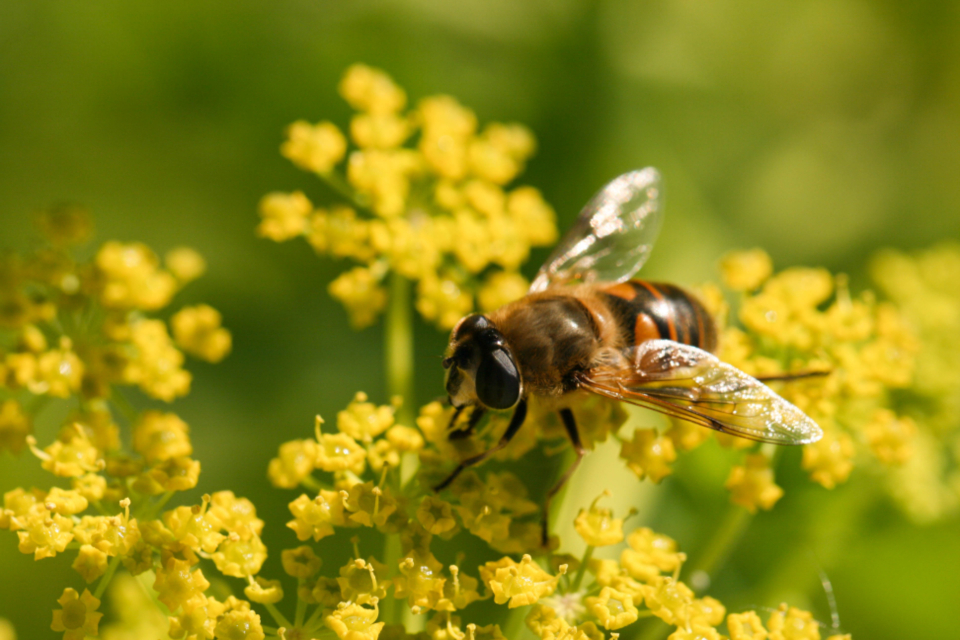 bee spring flower nature outdoors organic natural wings garden bloom botany plants goldenrod close up insect pollen