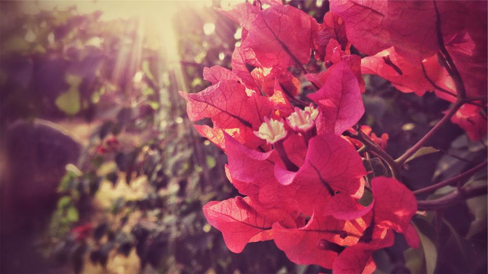 bougainvillea flowers leaves greenery garden nature flower