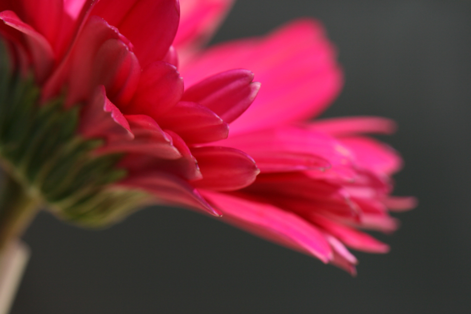 pink flower close up garden fresh nature outdoors colorful organic natural plants green petals plant wallpaper blossom