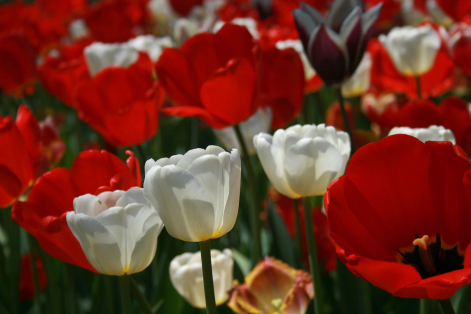 tulip flower macro petals nature garden closeup easter spring bloom blossom blur flora field plants colorful red white