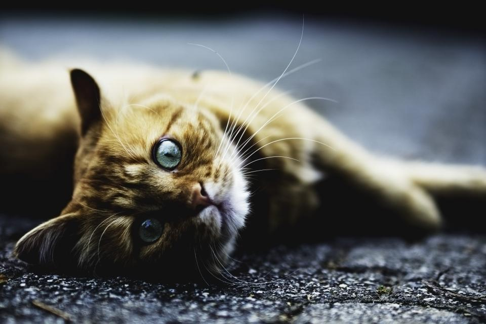 animals feline cats whiskers snout fur cute adorable eyes curious lie lay sideways floor still bokeh