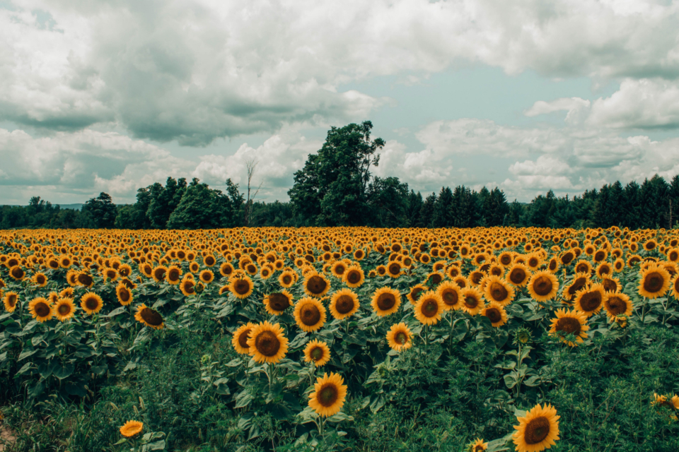 sunflower field summer spring yellow flower fauna nature cloudy sky trees farm