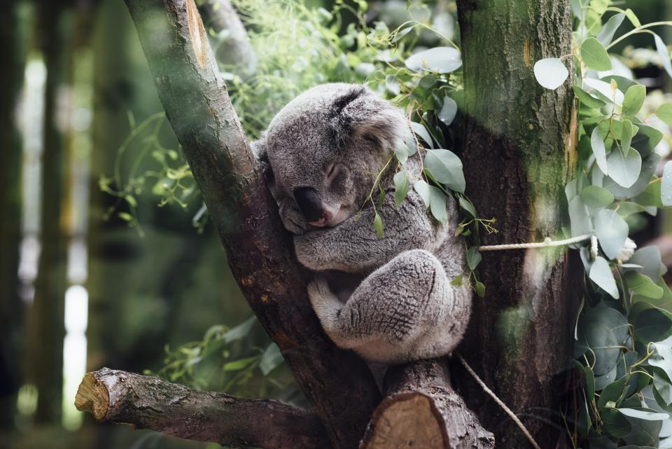animals mammals koala furry fluffy adorable cute sleeping squeeze tree branches trunk leaves still bokeh