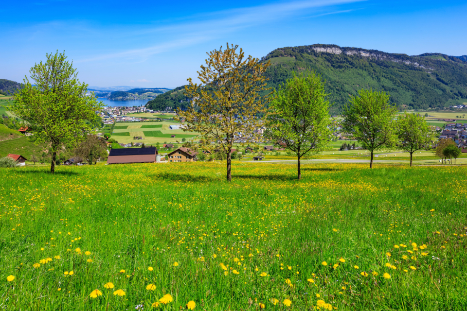 Stanserhorn Lake Lucerne lake travel travel destinations springtime spring meadow grass tree green dandelion flower yellow view countryside village building house landscape Stans Switzerland Nidwalden sky blue cloud white
