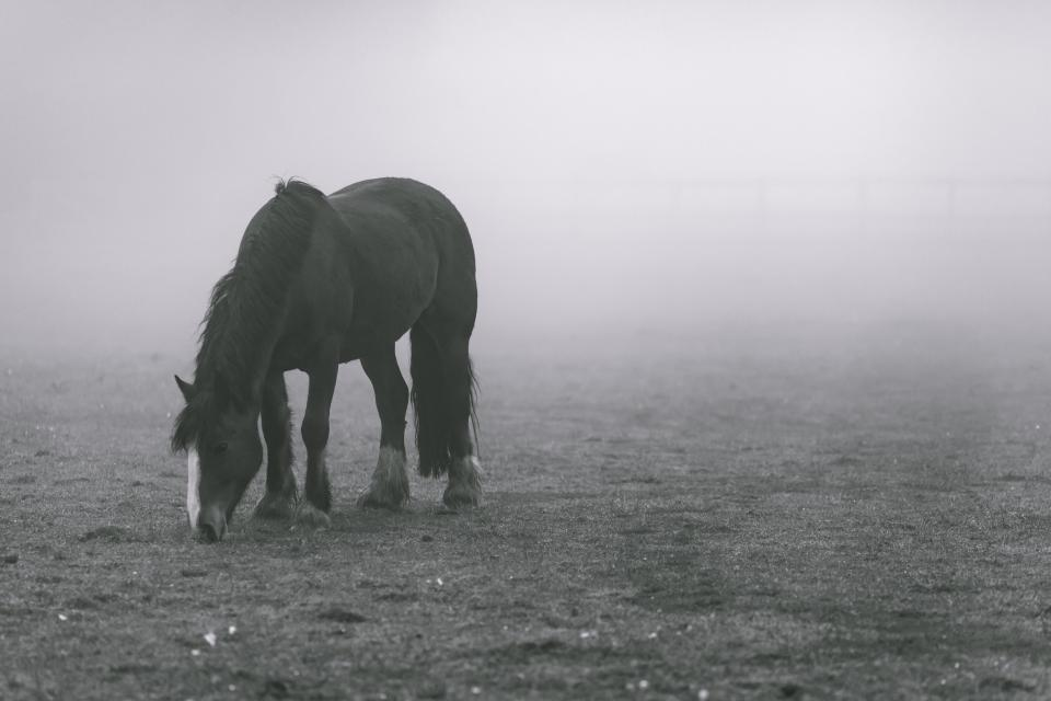 animals horses beautiful mane graze grass fog black and white