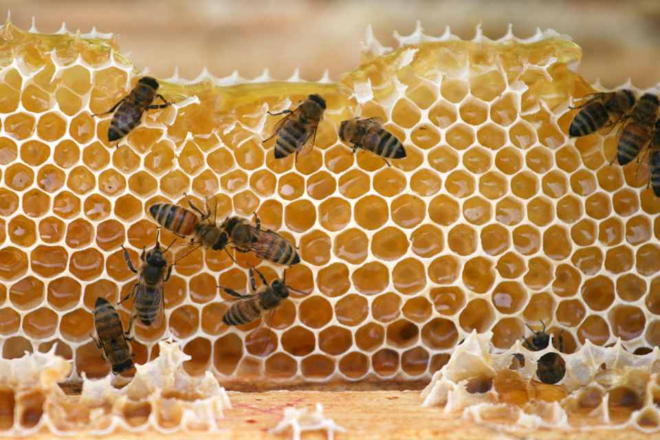 bees nature macro hive insects bugs flying honey community nectar pollen food colony honeycomb wax