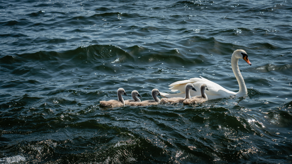 swans swimming water lake river animal white bird beak feathers family waves ripple wildlife