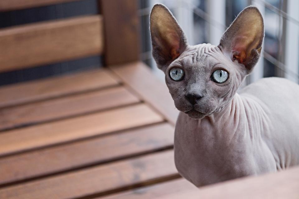 nature animals pet cat sphynx eyes