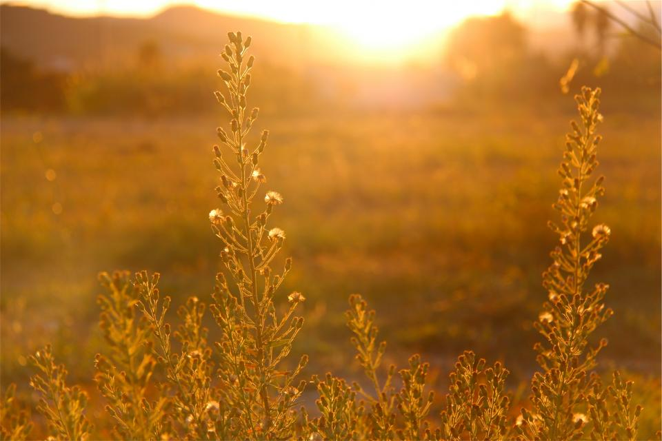 sunset sun rays sunshine plants field nature
