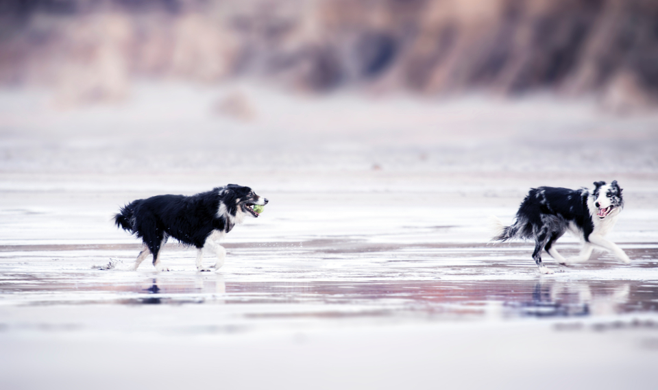 black & white dog beach running playing animals pets canine collie ball sea seaside