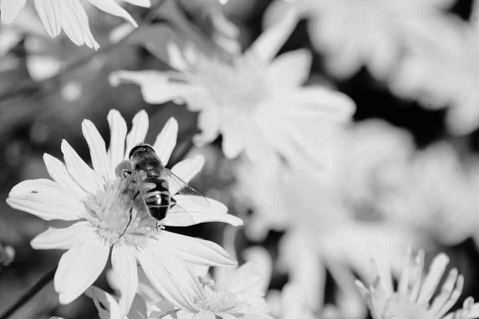 plants flower petals garden outdoor insect bee black and white