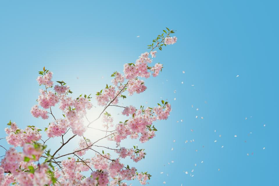 flowers nature pink blossoms spring summer branches outdoors trees clear blue sky