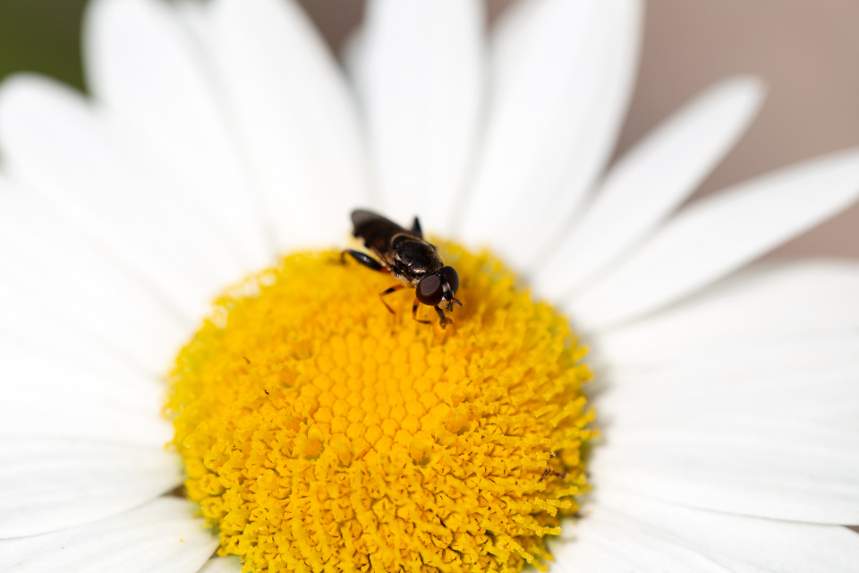 insect flower nature daisy spring organic nature growth natural bloom blossom flora plant petals bokeh close up macro bug