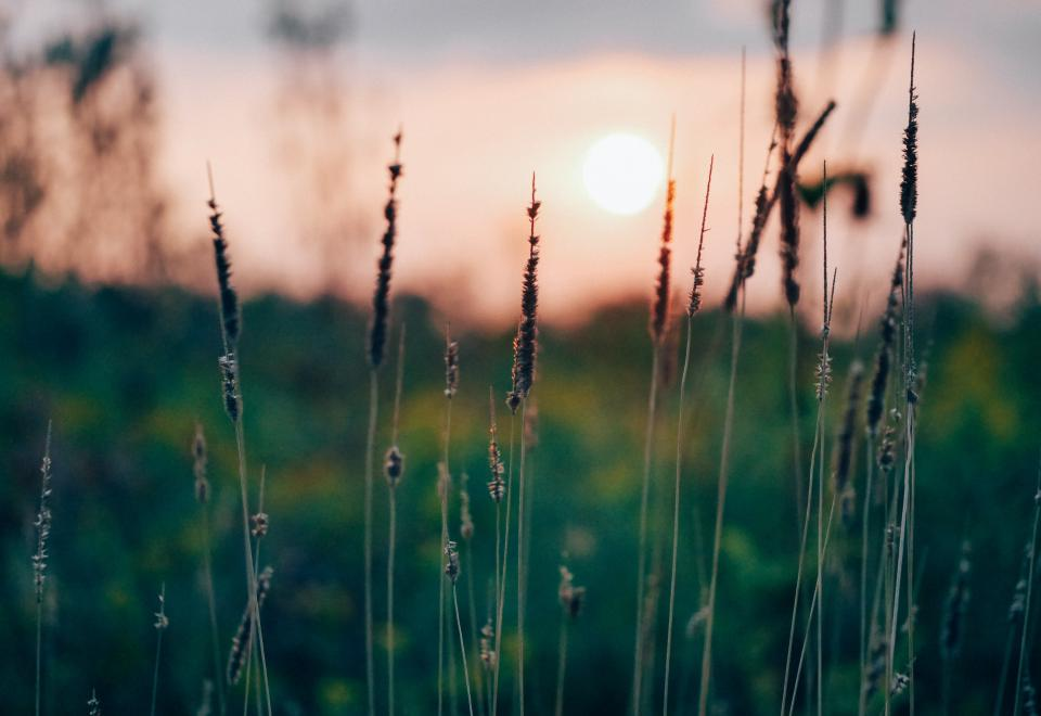 plants nature field rural countryside sunset