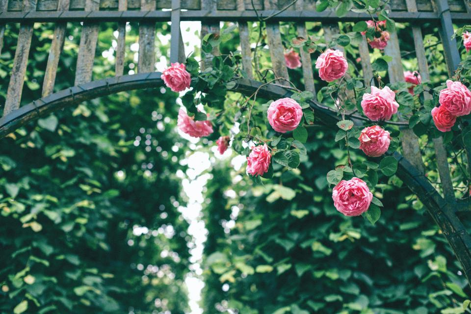 roses pink flower petals bloom nature green plants fence steel gate bokeh