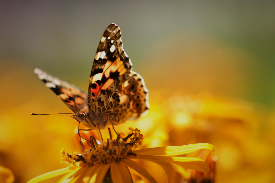 butterfly close up insect garden summer detail bug wings nature colorful wild outdoor wildlife flower bokeh macro