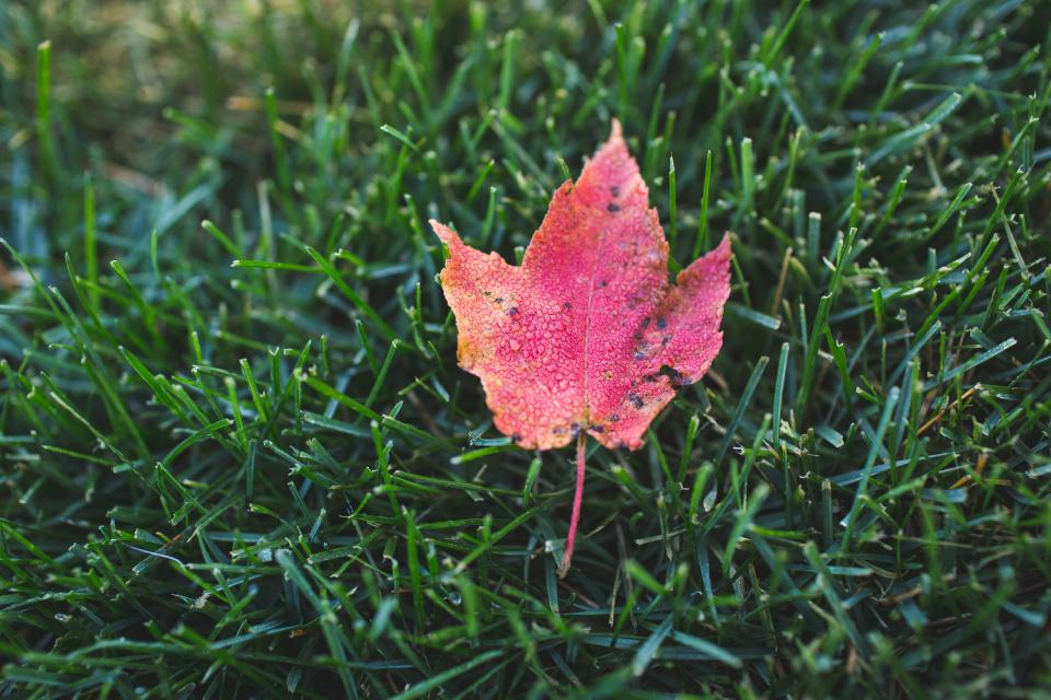 maple leaf fall autumn green grass nature outdoors