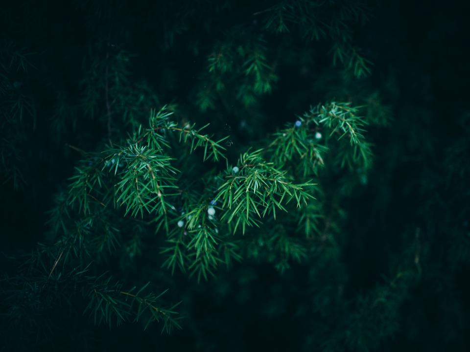 green bush plants trees nature outdoors pine leaves